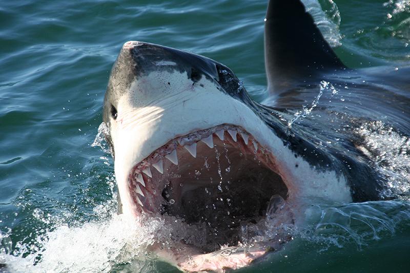 Gansbaai_Shark_Cage_Diving_02