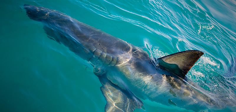Gansbaai_Shark_Cage_Diving_04